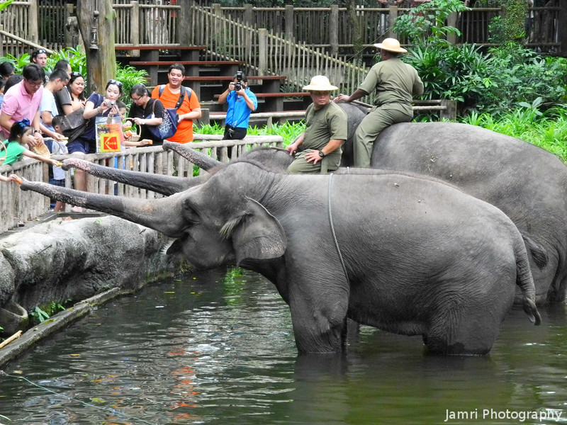 Feeding the Elephants.<br /> At the Singapore Zoo.