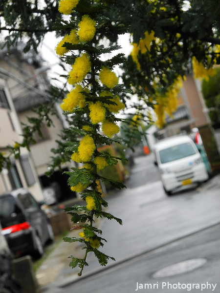 What is it?<br /> It looks like a Wattle (which is a native tree to Australia), it blooms in Japan in very similar weather to Wattle blooming time in Australia. So is it an import or something different?