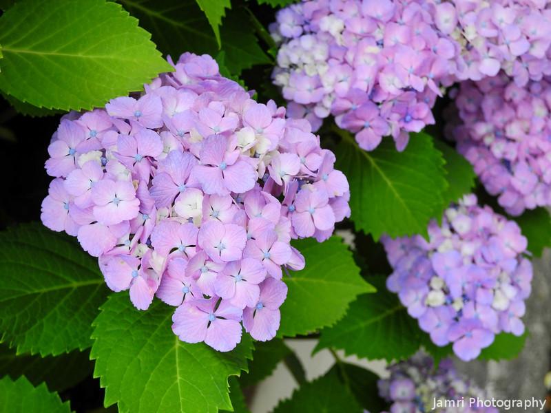 "Purple Hydrangeas.<br /> The あじさい(ajisai, ""hydrangea"") season has begun."
