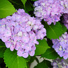"Purple Hydrangeas.<br /> The あじさい(ajisai, ""hydrangea"") season has begun."