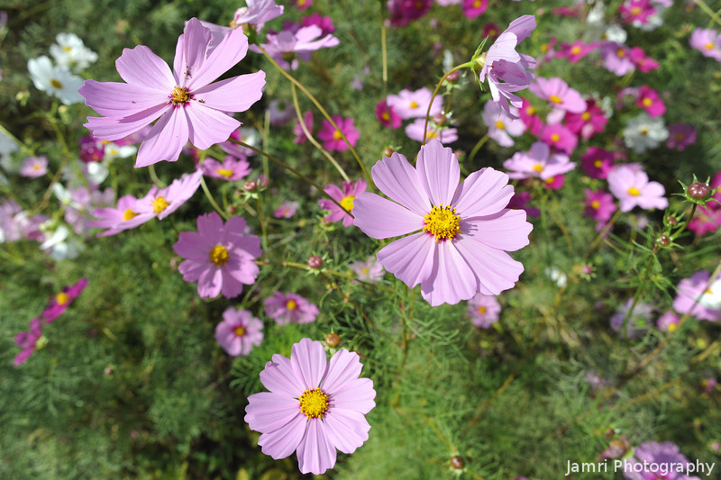 Upclose to Light Pink Cosmos (at f/8)
