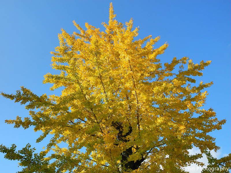 Golden Ginkgo against the Blue Sky.