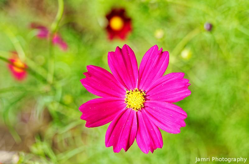 Deep Pink Cosmos