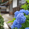 A Closer Look at the Hydrangeas