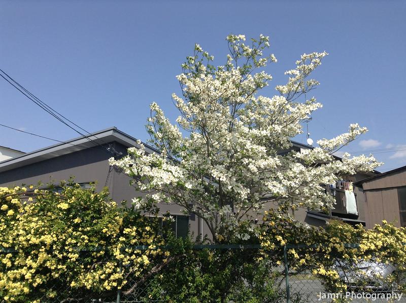 White Hana Mizuki.<br /> So after the sakura comes Hana Mizuki in white or shades of pink.