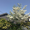 White Hana Mizuki.<br /> So after the sakura comes Hana Mizuki in white or shades of pink.