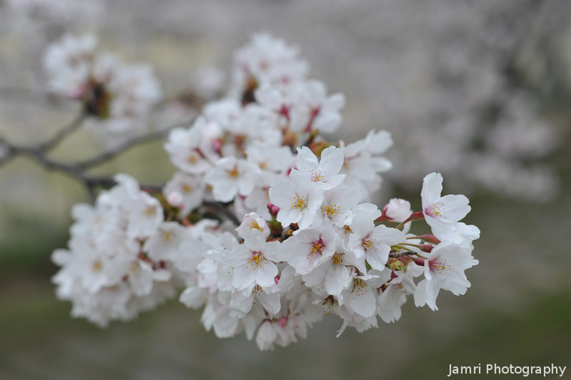 A Big Cluster of Sakura Blooms.