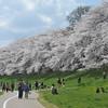 Walking by the Sakuras