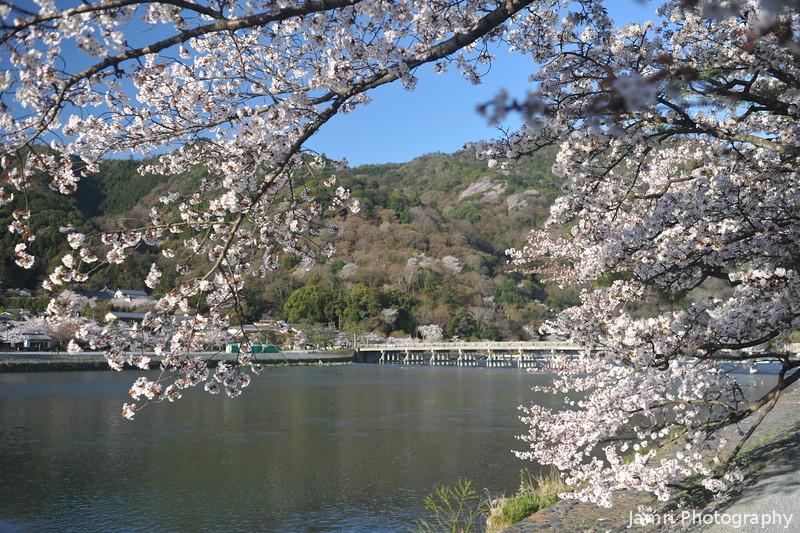 Through the Sakura Frame