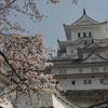Under a Sakura