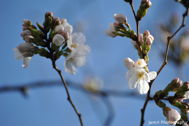 The Somei Yoshino Sakura Start to Bloom.<br /> About a week early this year. On the tree across the road from our house.