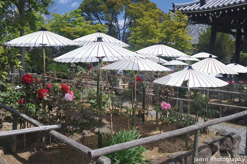 Peonies Under Umbrellas.<br /> At Otokuni Temple in Nagaokakyo, Kyoto-fu, Japan.