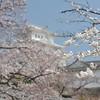 Through the Sakura
