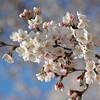 A Close Up of A Bunch of Sakura Flowers.