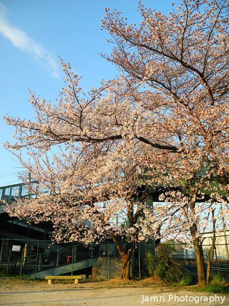 Sakura Trees by the Footbridge.