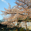 Sakura Trees by the Footbridge.