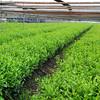 Green Tea Growing