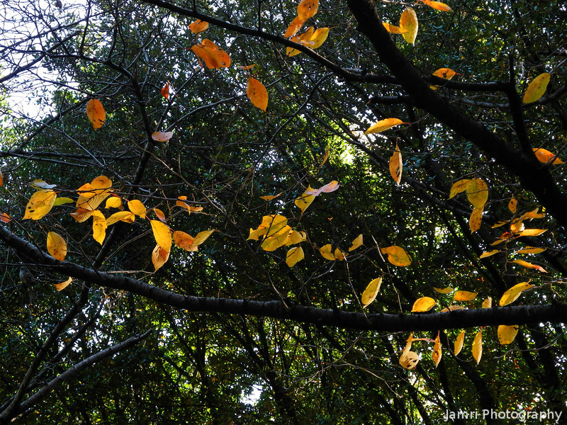 A Few Sakura Leaves Hanging On.