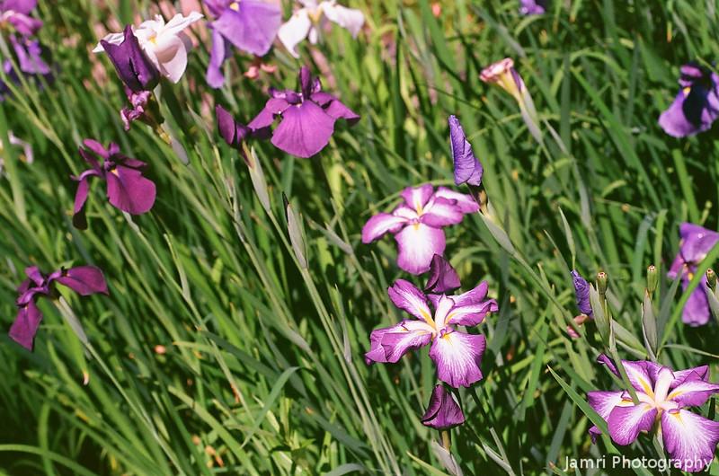 Irises in the Sun