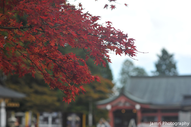 Autumn on Mt. Hiei.<br /> At the higher altitude the maples change about three or four weeks earlier than they do around our neighbourhood.