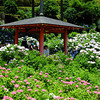 Towards the Gazebo.<br /> Hydrangeas in the gardens of Mimuroto-ji.