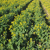 Greens and Golds.<br /> Part of a field of Nanohana.