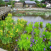 Irises By the Bridge