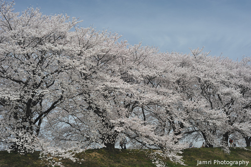 Looking Up Towards a Small Section of the Sakura Tunnel.<br /> In Yawata city, Kyoto-fu, Japan.