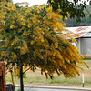 Wattle Tree in Bloom.<br /> Well after showing you a few flowers I found in Perth that are also in Kyoto, here's an Australia native tree the Wattle. Actually I think I have seen a couple of these in Japan...<br /> These bloom at the end of winter in Perth, sorry to confuse you with my Northern/Southern Hemisphere switching.