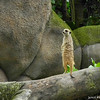 Meerkat.<br /> At the Singapore Zoo.