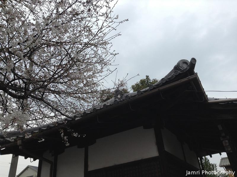 Sakura by a Temple Gate.<br /> In Nagaokakyo, Kyoto-fu, Japan.