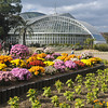 Chrysanthemums outside the Conservatory