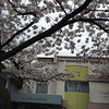 Full Bloom on the Sakura at Megumi Kindergarten.