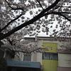 Full Bloom on the Sakura at Megumi Kindergarten.