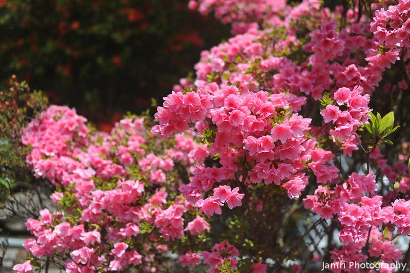 Pink Azaleas.<br /> At Mimuroto-ji (a Buddhist Temple), in Uji city, Kyoto-fu, Japan.