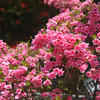Pink Azaleas.<br /> At Mimuroto-ji (a Buddhist Temple), in Uji city, Kyoto-fu, Japan.