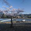 A Solitary Sakura