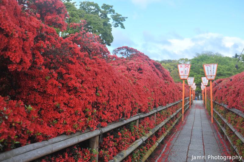 The Kirishima Azalea Tunnel.<br /> At Nagaoka Tenmangu Shrine, Nagaokakyo, Kyoto-fu, Japan.