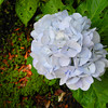 Light Blue Hydrangea.