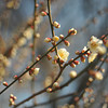 White Ume in the Grounds of Osaka Castle.<br /> Ume is Plum Blossom.