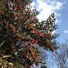 A Big Camellia Tree