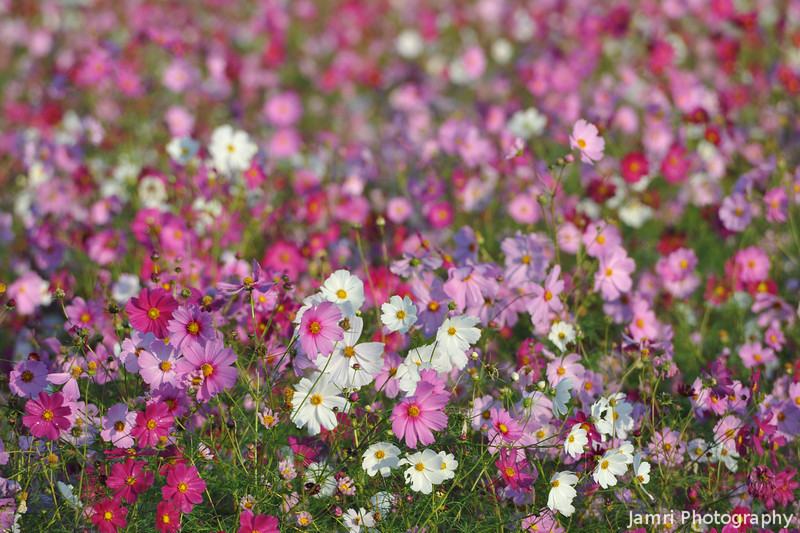 At the Peak of the Bloom.<br /> During the Cosmos Flowering Season October 2012.