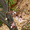 Plum Blossoms (Ume) in the Australian Bush.<br /> We went up to a cafe in the hills just outside of the Perth metro area. In their garden they had some flowers that are also found in Kyoto, but unlike Kyoto where they bloom at different times, in Perth's climate they all bloom at the same time.