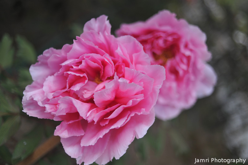 A Pair of Pink Peonies.<br /> At Otokuni Temple in Nagaokakyo, Kyoto-fu, Japan.