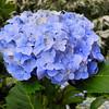 A Blue Hydrangea.