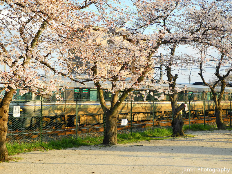 Train Passing the Sakuras.