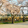 Train Passing the Sakuras.