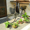 Catching the Autumn Sun.<br /> Plants outside our house. As amount of sunshine got less with changing of the season, I had to move the plants to near the bikes to catch the maximum amount of sunshine. A little annoying to get the bikes out, but one of things we get used in Japan with so little space available.
