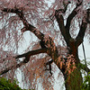 Weeping Cherry.