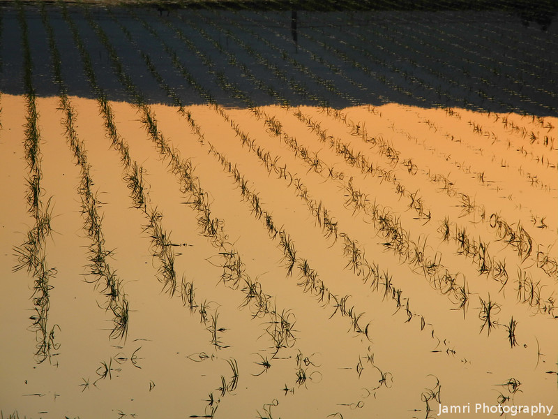 Orange Field.<br /> A flooded rice field at Sunset.